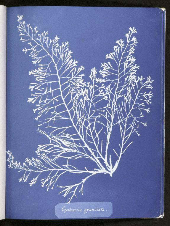 Cystoseira granulata, Anna Atkins, © New York Public Library